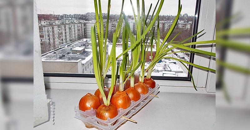 Земля здесь не нужна! Самый чудный способ выращивания лука. Суперидея для домашнего огорода!
